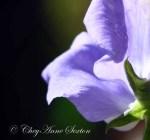 sweet swirls of purple