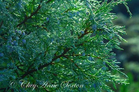 juniper w dew blue