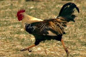 rooster running round n round