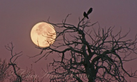 two crows with the november moon