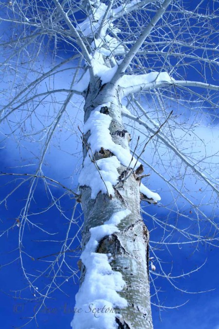 my favorite aspen covered in snow