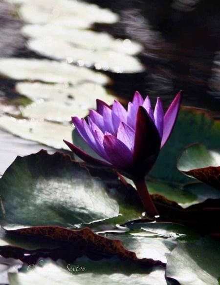 water lily in Lo de Marcos, Mexico