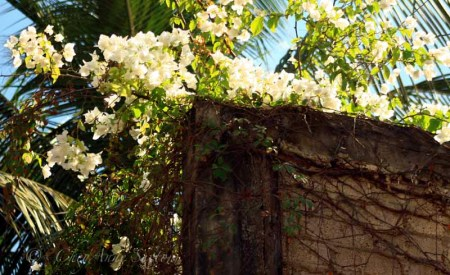 white bougainvillaea over the wall