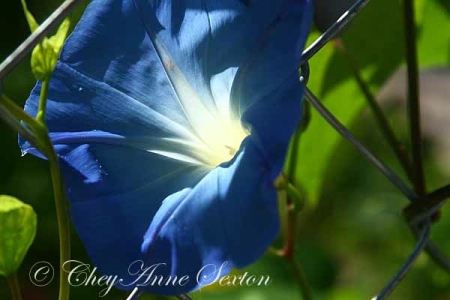 heavenly blu morning glory