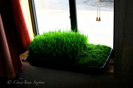 first cut of wheat grass