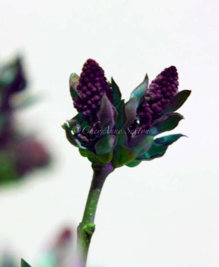 lilac buds aglow
