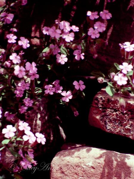 purple soapwort