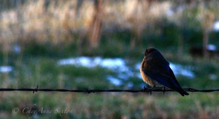male bluebird on a wire