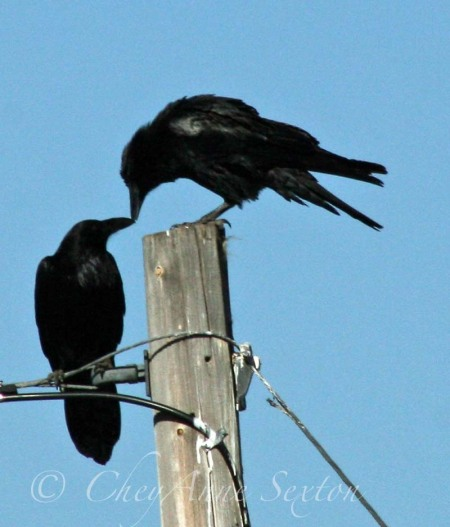 our kissin' crows