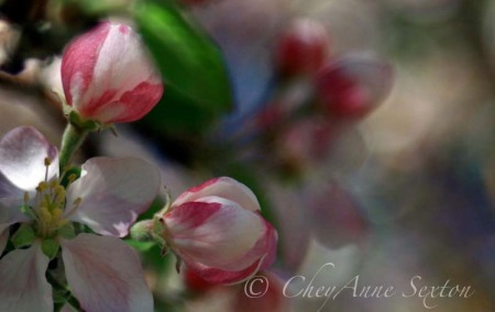 bokehricic blossoms