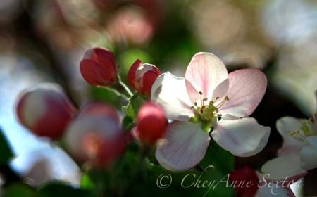 light thru the  blossoms