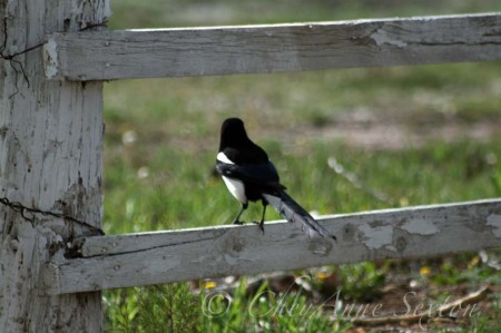 magpie on the fence, 'whats out there'
