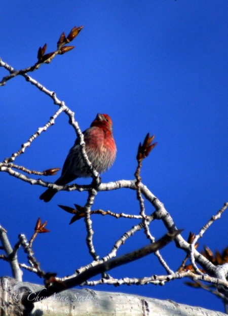 little bright red male finch