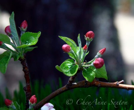 pink buds on a twig