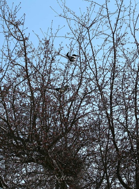 magpie couple abouve their nest