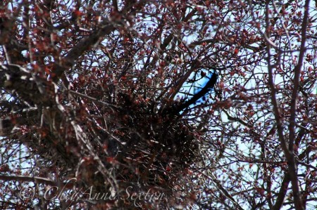 you can see the magpies tail poking out of the nest