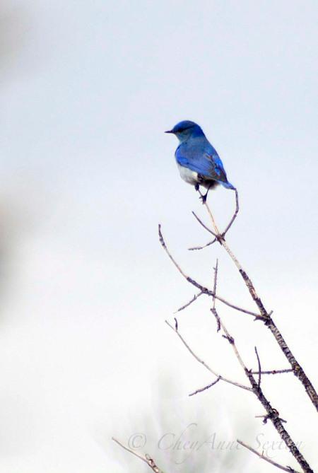 bluebird on a limb