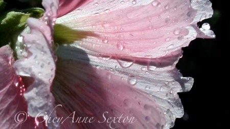hollyhock after rain