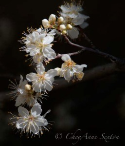 beautiful white blossoms