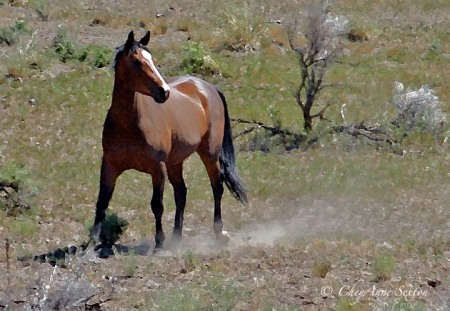 sagebrush drybrush colt