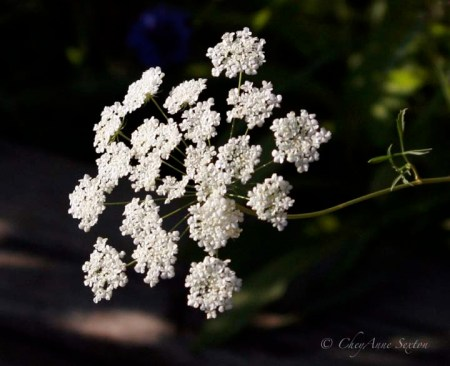 white lace of summer