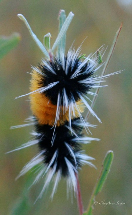 black n orange caterpillar
