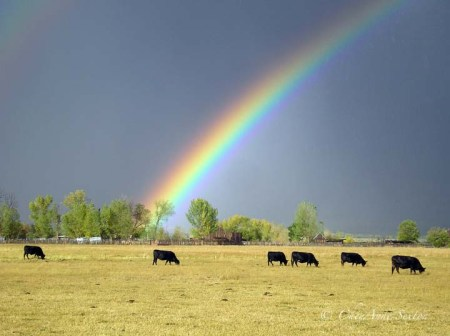 cattle under the rainbows