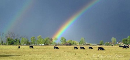 field cows rainbows