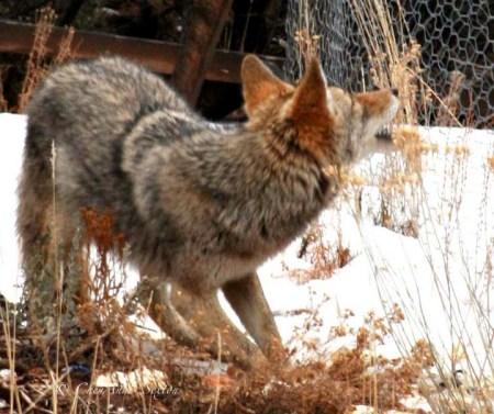 coyote talk