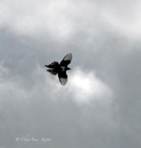magpie above