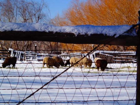 winter colors of sheep and fence, Taos