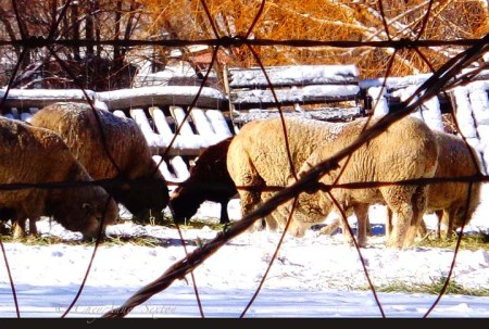 winter sheep thru the fence