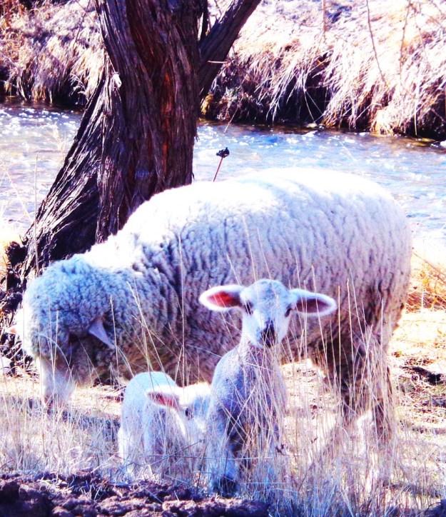 'bleep' says the lamb