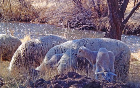 down by the river in the sweet new grass lived a little flock of sheep,                       all sparkly and sweet