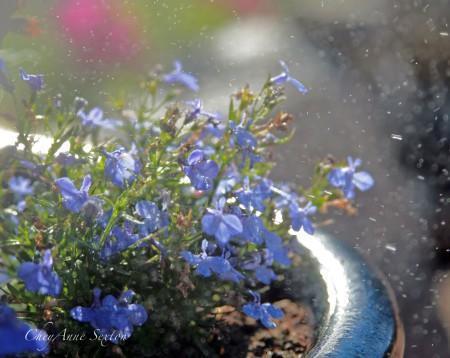 baby blue lobelia