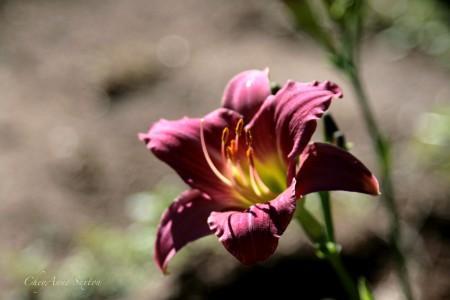 Soft Lit Daylily by CheyAnne Sexton