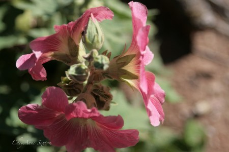 Bright Watermelon Pink Hollyhock blossoms