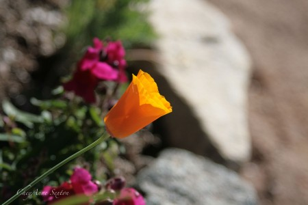 California Poppy and magenta snapdragons