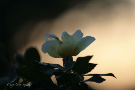 evening glow thur the KnockOut Yellow Rose
