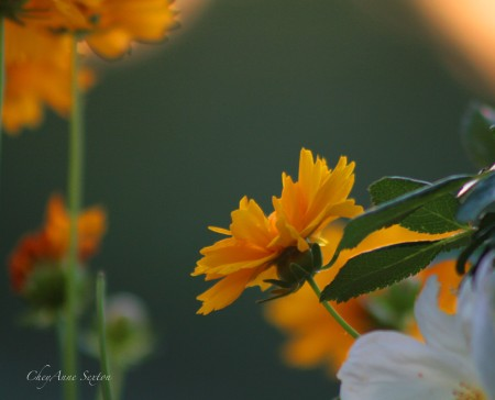 Sweet orange yellow coreopsis glowing