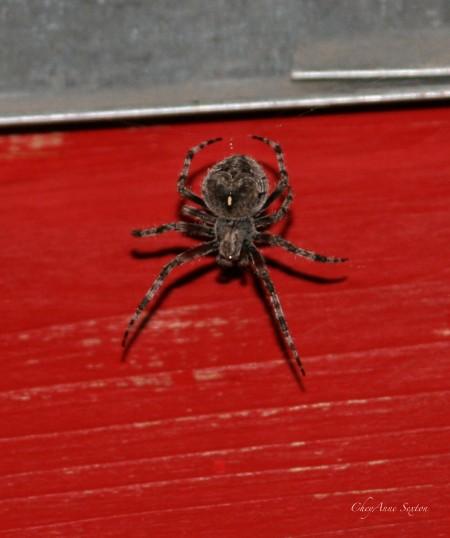 we found this spider making a hugh web