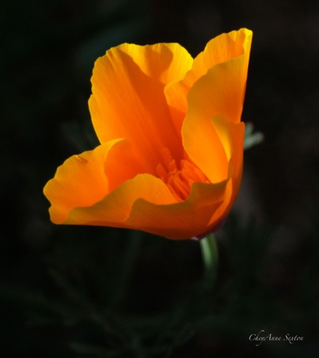 California Poppy, by CheyAnne Sexton