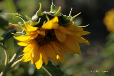 August brings our sunflowers blowing in the wind