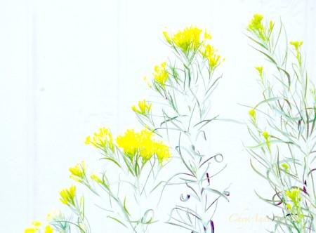 rabbitbrush Chimisa