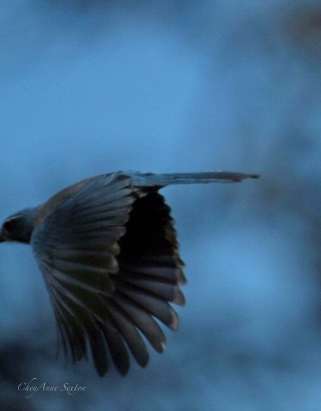 Scrub Jay wind tunnel