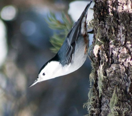 White-Breasted Nuthatch stretched out