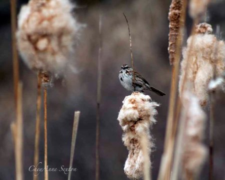 Song Sparrow watching me watching him in the cattails