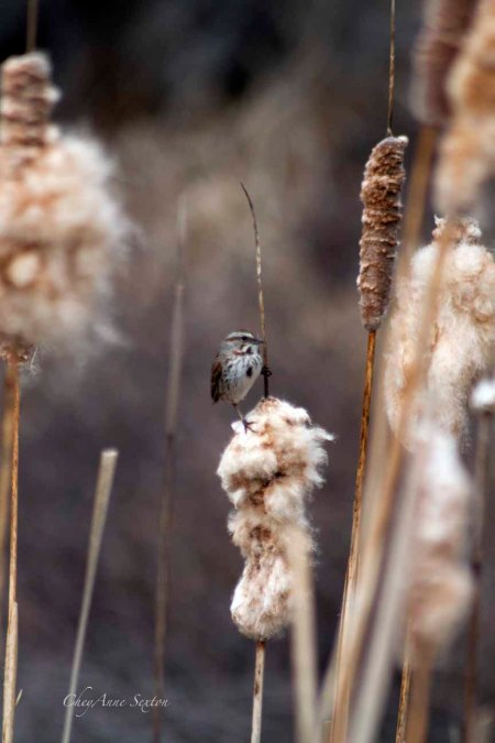 Song Sparrow in the Cattails