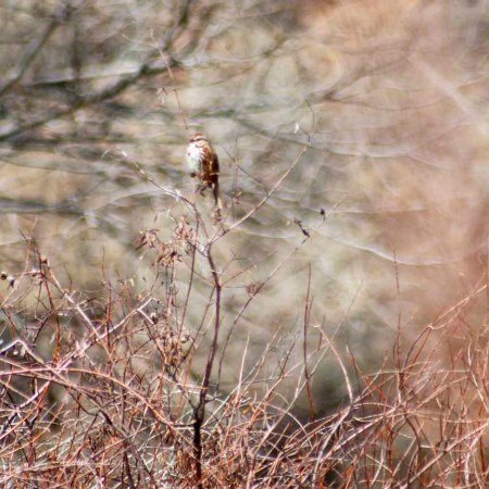Song Sparrow in a tangle of pink