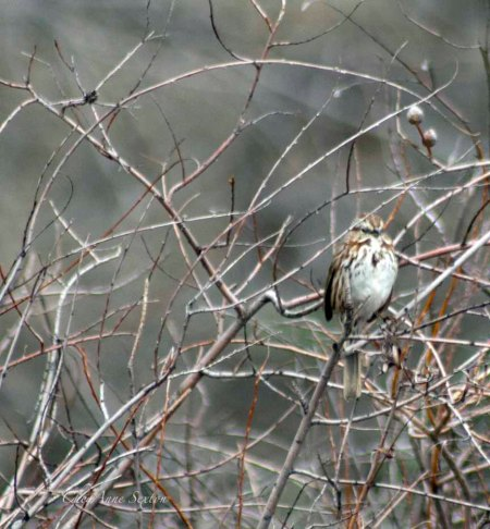 Song Sparrow in the brush